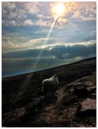 Sheep on slievenamon
