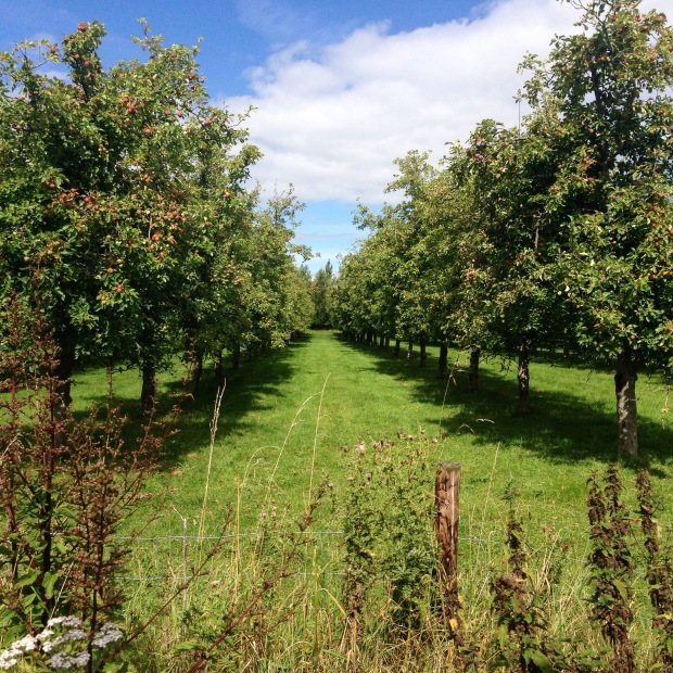 Here is a view from my lunch time stroll... pretty Magners Orchards